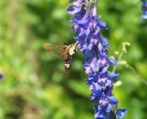 Moth on larkspur