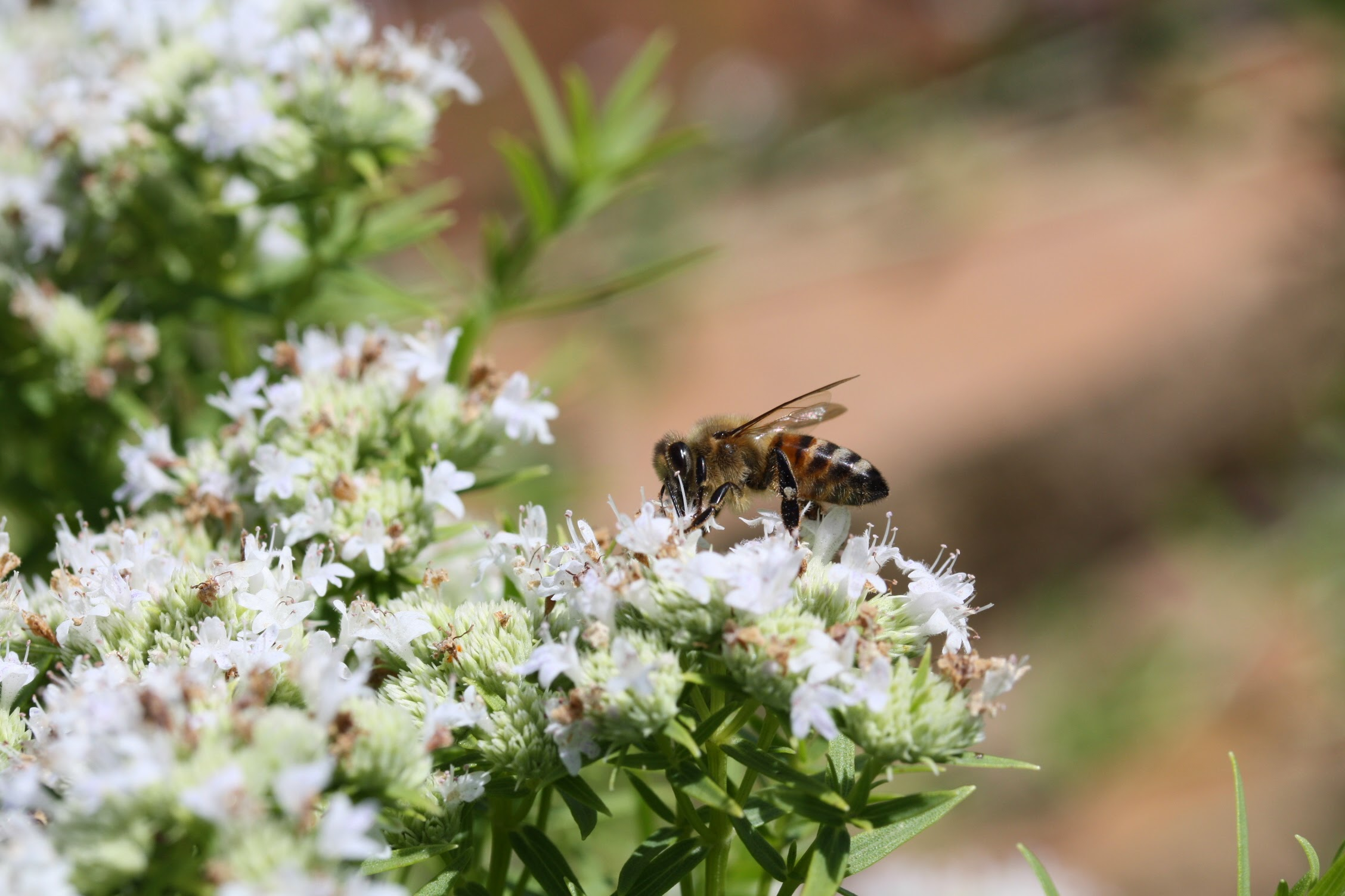 Honeybees are attracted to native plants such as slender mountain mint