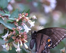 Native bush in landscape attracts butterflies in autumn