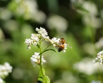 Honey bee pollinating a summer cover crop, buckwheat.