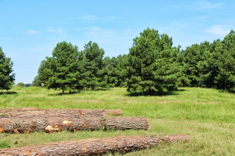 Oklahoma Projects Combine Timber Production with Cattle Grazing