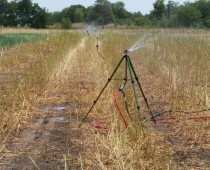 Sprinklers watering a newly-cut sorghum-sudangrass cover crop to ensure regrowth (July 2012)