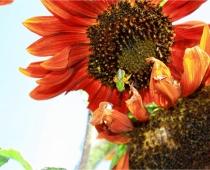 Agapostemon — green sweat bee & sunflower