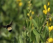 American bumble bee & Golden Wild Indigo in pasture