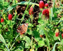 crimson clover cover crops attracts many bees & butterflies