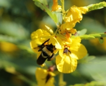 Bumble bee & partridge pea, a late summer wild flower