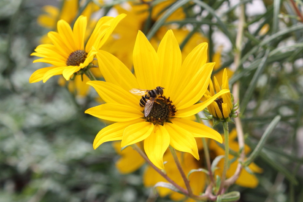 Honey bee & Maximillian sunflower