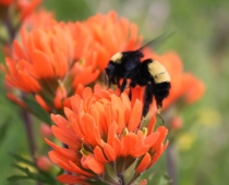 American bumble bee & Indian Paintbrush.