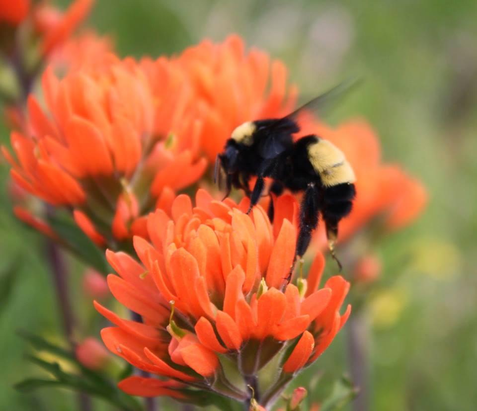 American bumble bee & Indian Paintbrush.