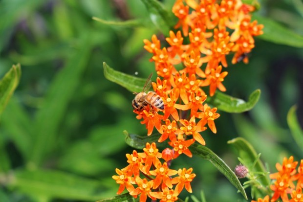 Butterfly milkweed & honey bee