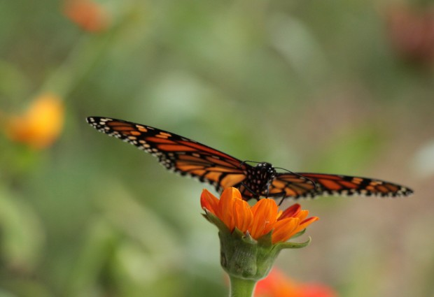 monarch on mex sflower