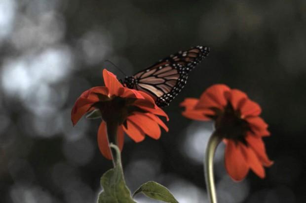 Oklahoma and the Monarchs: Lend a Hand!