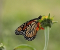 You Can Help Save the Monarch Butterfly!