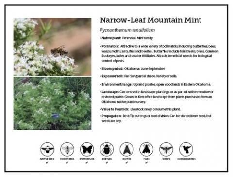 Narrow-Leaf Mountain Mint Fact Sheet