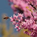 Bee visiting Redbud tree.