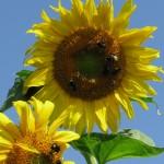 bees on yellow sun
