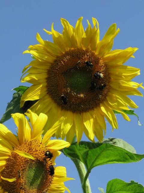 A Paucity of Pollinators in Oklahoma This Season?