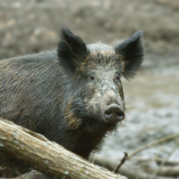 Feral Hog Workshop Recap