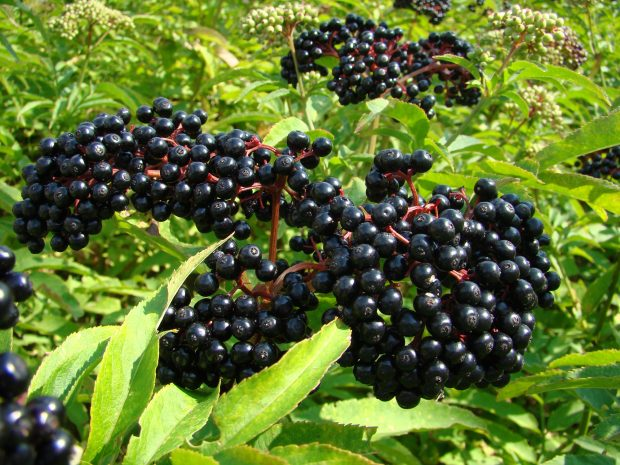 Oklahoma's Home-Grown Elderberry Experts