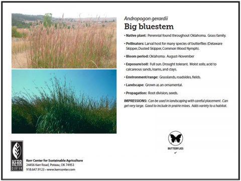 Pollinator Plant Profile: Big Bluestem