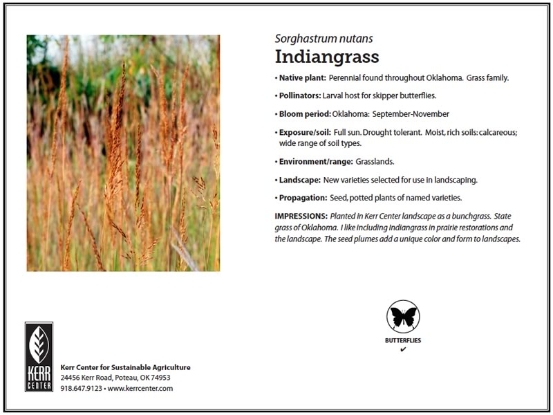 Conservation library kerr center pollinator plant profile indiangrass publicscrutiny Image collections
