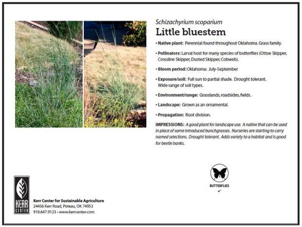 Pollinator Plant Profile: Little bluestem