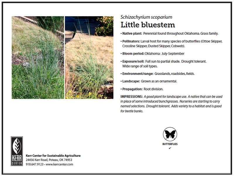 Conservation library kerr center pollinator plant profile little bluestem publicscrutiny Image collections