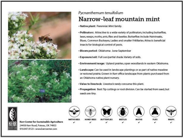 Pollinator Plant Profile: Narrow-leaf Mountain Mint