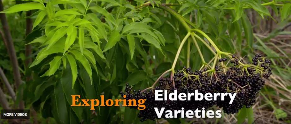 Exploring Elderberry Varieties (Oklahoma Gardening)