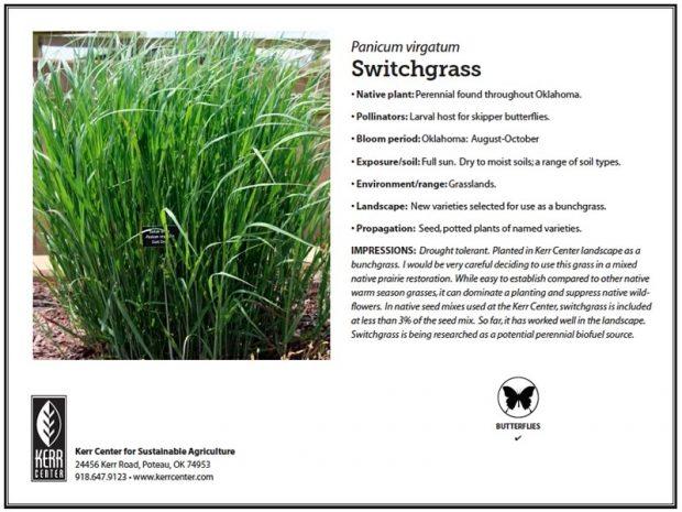 Pollinator Plant Profile: Switchgrass