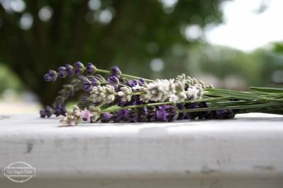 Senior Day Out at the Gardens: All About Lavender @ Oklahoma City (Myriad Botanical Gardens) | Oklahoma City | Oklahoma | United States