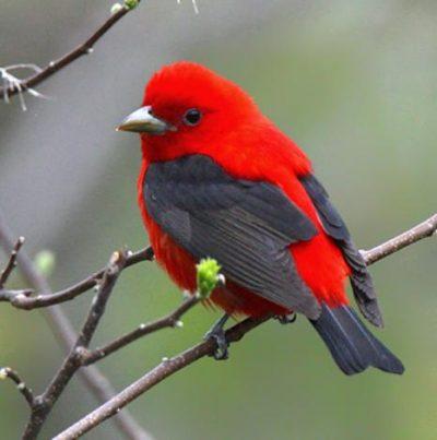 Red Slough Birding Convention @ Idabel (Southeastern Oklahoma State University- McCurtain County Campus) | Idabel | Oklahoma | United States