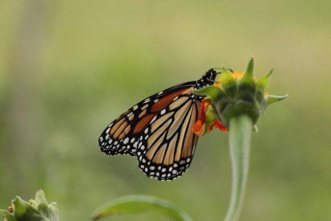 President's Note: Monarch Butterflies