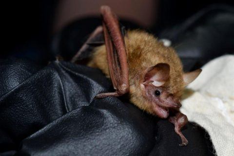 Eastern Oklahoma Bat Tests Positive for White-nose Syndrome
