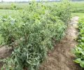 Weed Scientists Warn of Drift, Resistance Risks from Auxin Herbicides