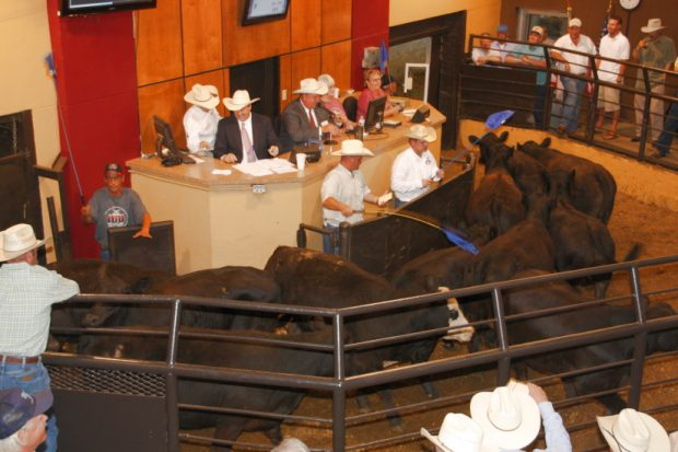 Selling Cattle on TV