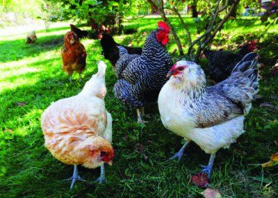 Workshop: Backyard Chickens @ Oklahoma City (Myriad Botanical Gardens) | Oklahoma City | Oklahoma | United States