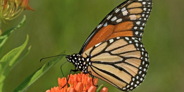 Supporting the Monarch Migration – Presented by Sandra Schwinn