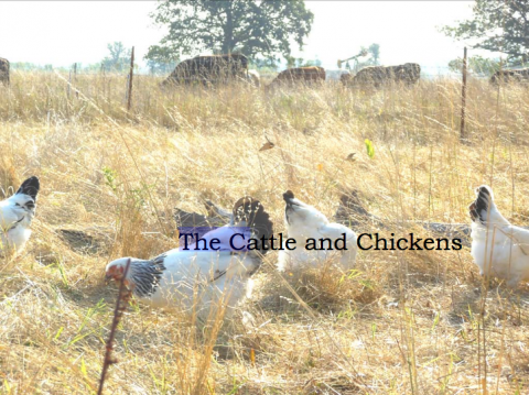The Cattle and Chickens