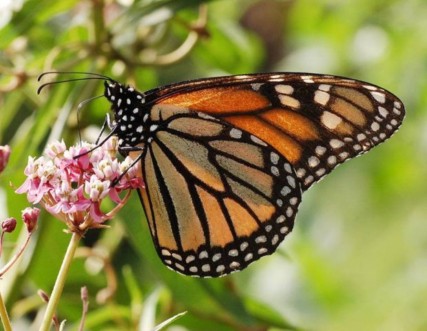 2nd Annual Prairie Wind Nursery Monarch Migration Celebration