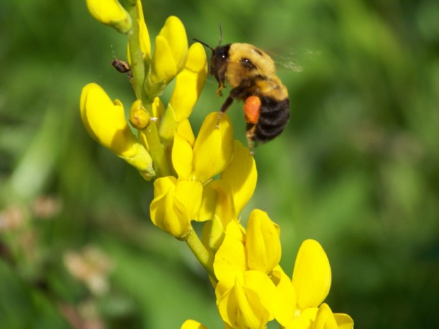 Yellow indigo thrives in rotationally grazed pastures and attracts bumble bees in the spring