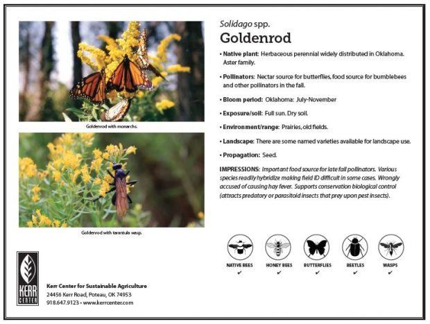 Pollinator Plant Profile: Goldenrod