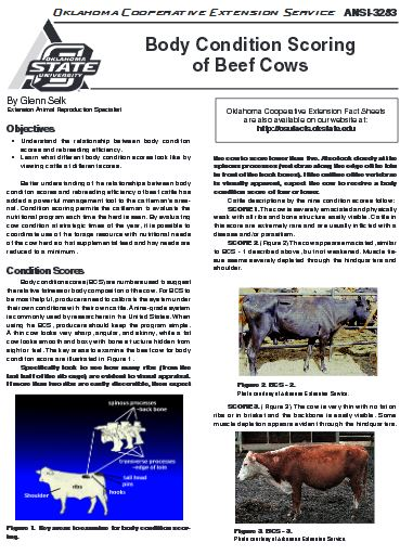 Body Condition Scoring Of Beef Cows Kerr Center