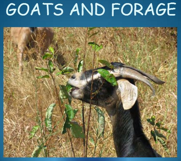 Forages: What Goats Like and What They Don't