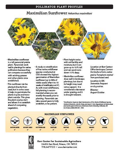 Pollinator Plant Profile: Maximilian Sunflower