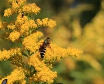 Wasps on goldenrod
