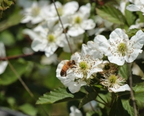 honey bee on a multiflora rose