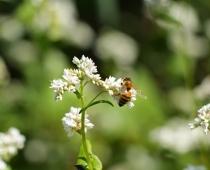 Honey bee pollinating a summer cover crop, buckwheat.