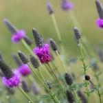 purple prairie cone flower