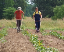 2012 interns Jacob Delahoussaye and Katie Kilpatrick weeding with wheel hoes: double-wheel on the left, single-wheel on the right.
